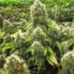 Better buds with rinsing your plants before harvest