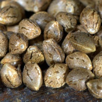 Zwei Methoden, um eigene Samen zu produzieren