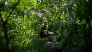 Пигмейские племена Конго продают каннабис, чтобы выжить