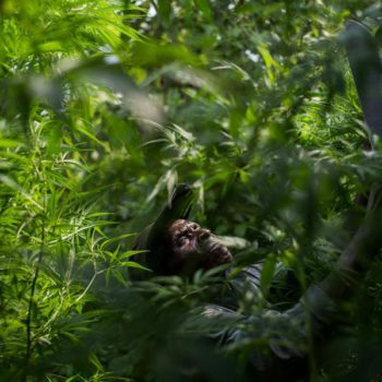 Congo's pygmy tribes sell cannabis to survive