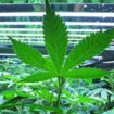 First scientific study on the optimal cultivation of cannabis