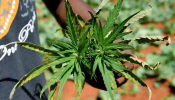 La Jamaïque accorde les deux premiers permis aux fournisseurs de cannabis médical