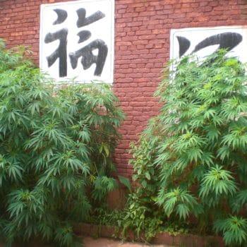 Chinese clandestiene boerderijen groeien in Californië