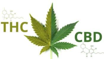 Comment le ratio entre THC et CBD influence les effets