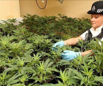 Hypocrisie au Royaume-Unie: prohibition et production de cannabis medical