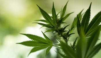 How long does THC stay in the body?