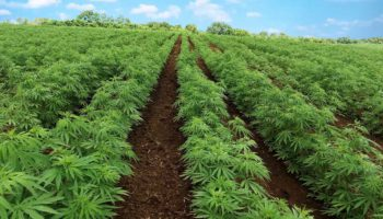 The legalization of industrial hemp is approved by the United States Senate