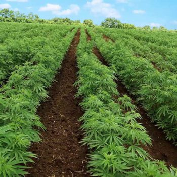 Die Legalisierung von Industriehanf wird vom Senat der Vereinigten Staaten genehmigt
