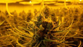 Soyez silencieux, les plantes de cannabis peuvent vous entendre