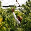 Jamaican varieties set foot in Canadian medical cannabis