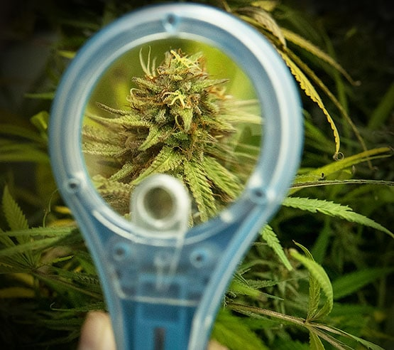La culture automatisée de cannabis à la maison