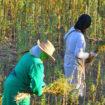 Morocco prohibits kif cultivation