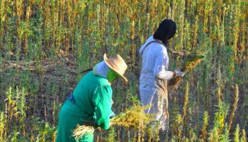 Le Maroc interdit la culture du kif