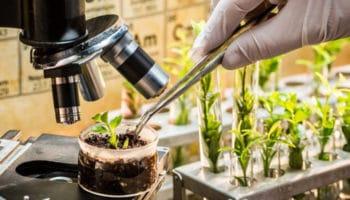 valencene, terpenes, cannabis plant, guaiol