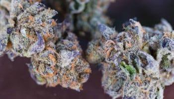 Frost,kief médical,Aurora Cannabis