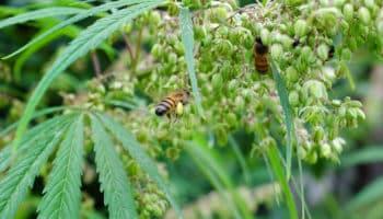 abeille,pollen,chanvre industriel,chanvre