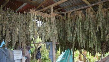 Une ferme de ganja dans la paroisse de Westmoreland, Jamaïque