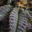 CBD-V,CBG,cannabinoïdes