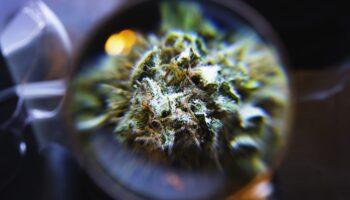 Nouvelles Cannabinoides