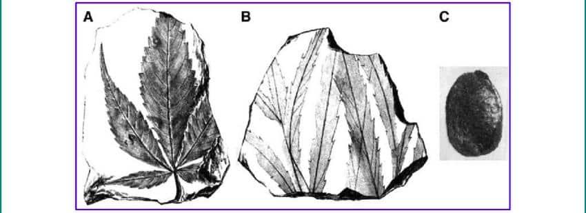 Macrofossils-cannabis-fossile-1.jpg