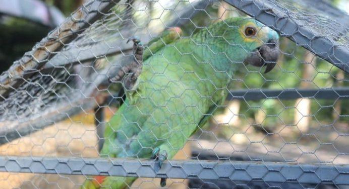 Ongebruikelijk: een papagaaihandelaar gearresteerd in Brazilië