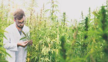 emploi cannabis