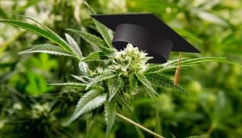 diplôme cannabis