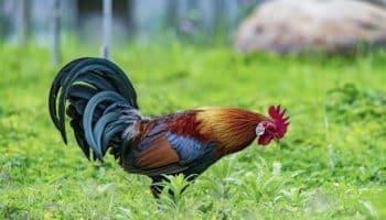 graines de chanvre,poulets