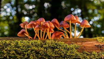 champignon,psychédéliques