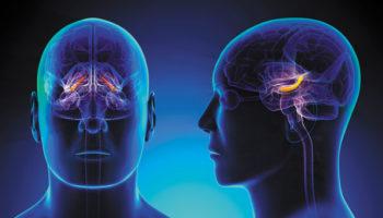 bloedcirculatie, cerebrale hippocampus