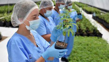 cannabis à usage médical,Uruguay exportation