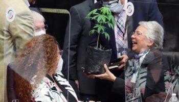légalisation ,plant de marijuana Mexique