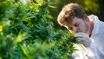 l'odeur des terpènes,l'odeur du cannabis