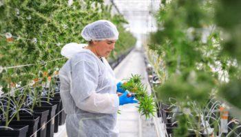 Panaxia wil in Frankrijk gratis cannabis op de markt brengen in Frankrijk