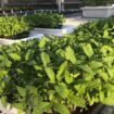 feuilles de chanvre,légumes verts,laitue de chanvre,super-aliment,pousses de chanvre