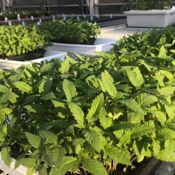 hemp leaves, green vegetables, hemp lettuce, superfood, hemp shoots